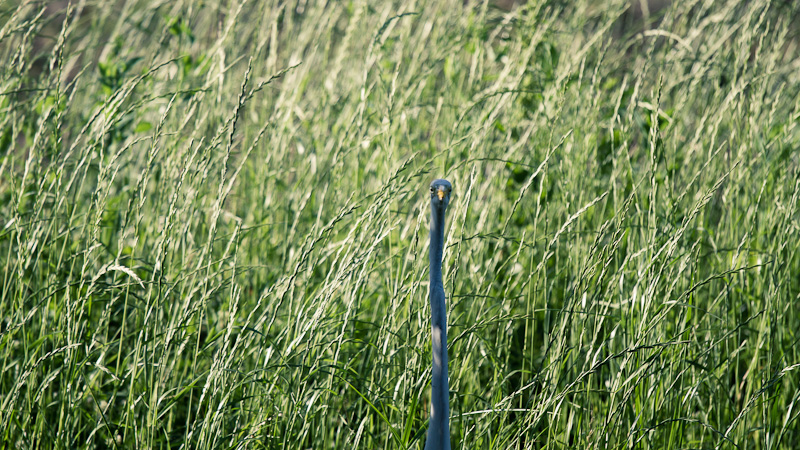 Hidden great blue heron.