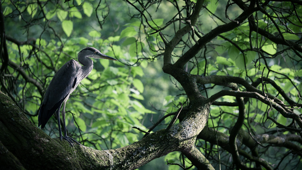 Perched heron.