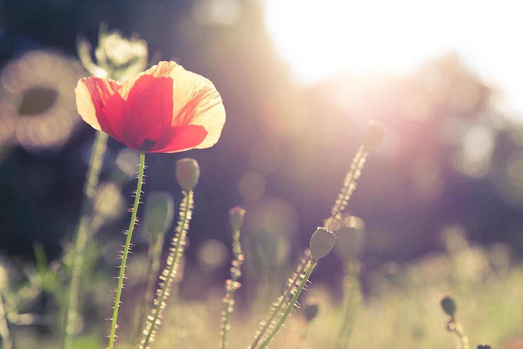 Sunny poppy.