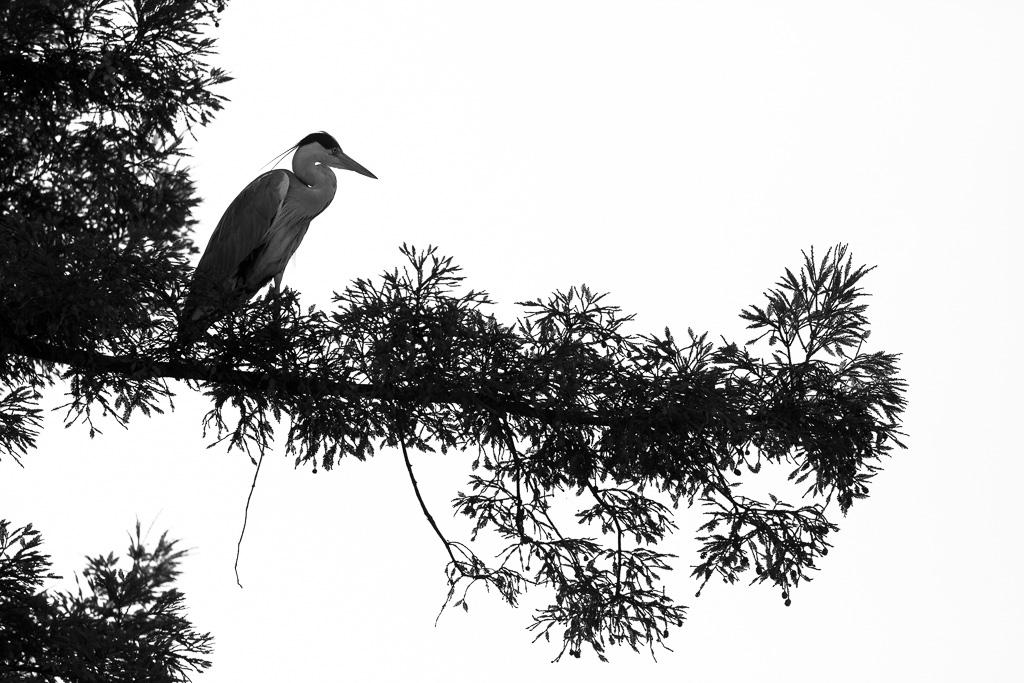 Black and White heron.