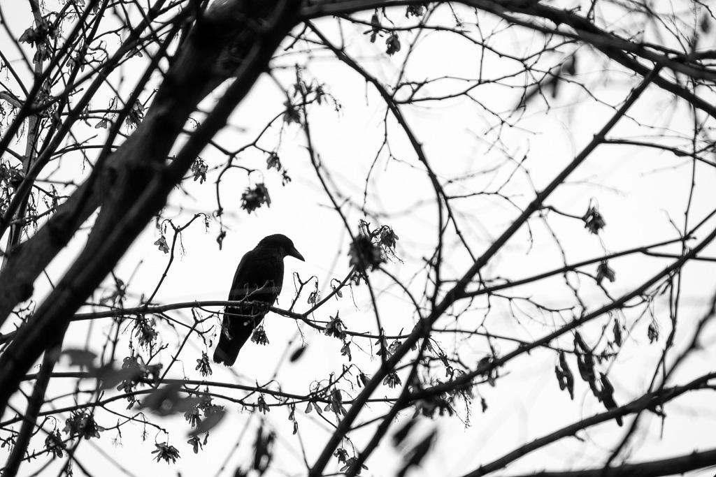 Black bird.