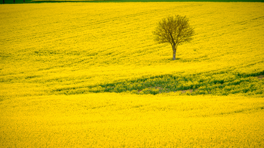 On a yellow field.