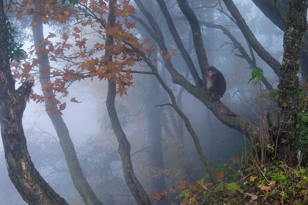 Tibetan macaque in the mist.