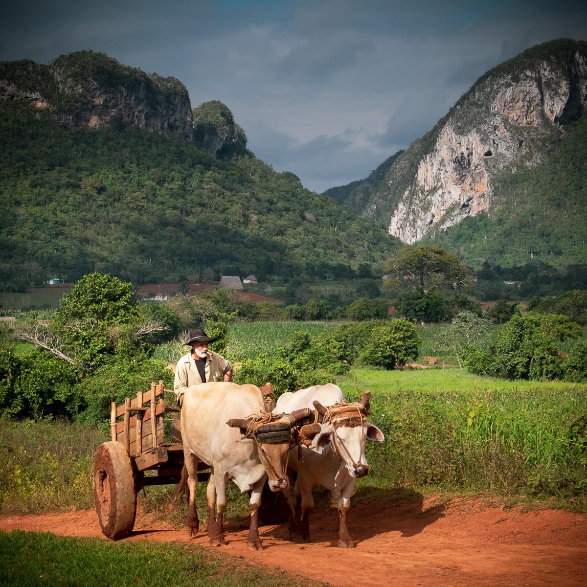 Cigar on an ox cart.